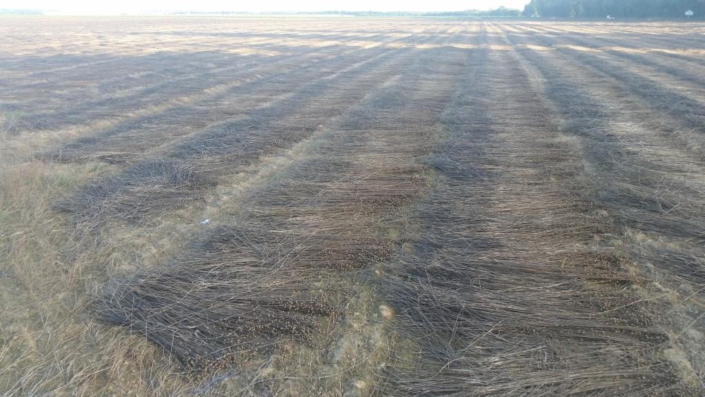lin flax champs de lin recolte 12 septembre