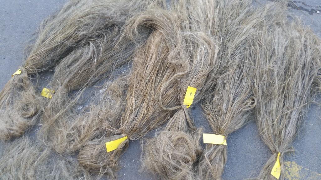 saneco lin flax recolte rapport 12 septembre