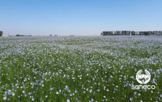 champ de lin en fleurs France
